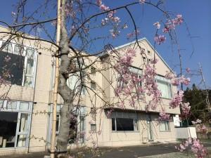 H26しだれ桜